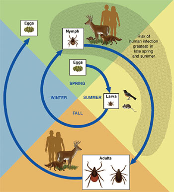 The Life Cycle of a Tick