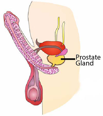 diagram : prostate gland location, Skeleton